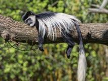 Überzogenes guereza, Colobus guereza, schlafend auf dem Baum Lizenzfreie Stockbilder