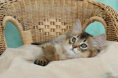 Übliches somalisches Kätzchen auf einem Weidenstuhl Stockbild