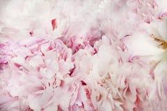 Üppige Blumenblätter der weiß-rosa Pfingstrose Lizenzfreie Stockfotografie
