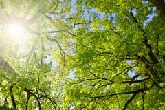 Üppige grüne Frühlingsniederlassungen der Eiche Stockfoto