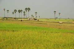 Üppige grüne Reispaddys mit Palmen in Kambodscha, ländliche Szene Stockbild