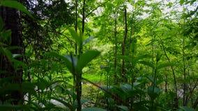 Üppige Grünpflanzen mit schönem flüssigem Fluss im Hintergrund umgeben von Forest Trees im Sommer Standpunkt vom Grün stock video footage