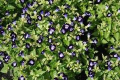 Üppige purpurrote Blume schön lizenzfreie stockfotografie