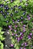 Üppige purpurrote Blume schön stockbilder