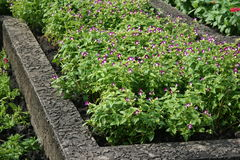 Üppige purpurrote Blume schön stockfotografie