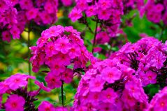 Üppige purpurrote Flammenblumeblume lizenzfreie stockfotos