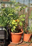 Üppige Tomatenpflanze auf der Terrasse in einem ÖKOLOGISCHEN städtischen Garten Stockfotografie