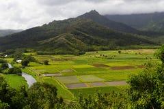 Üppige Wasserbrotwurzel-Felder bei Hanalei Lizenzfreies Stockfoto