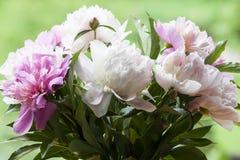 Üppige weiße und rosa Pfingstrosen Lizenzfreie Stockfotos