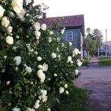 Üppige weiße wilde Rosenbusch wachsen entlang dem Zaun wie einer Hecke nahe bei einem Holzhaus Frühling, Seitenansicht, quadratis lizenzfreie stockfotos