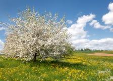 Üppiger blühender Apfelbaum in einer Blumenwiese Stockbild