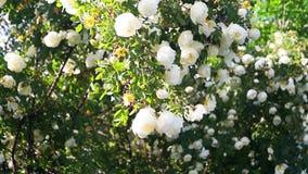 Üppiger dogrose Strauch, reich verziert mit weißen Blumen stock video