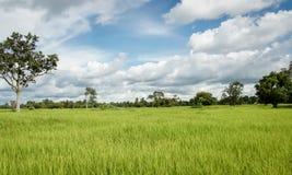 Üppiger grüner Paddy auf dem Reisgebiet Frühling stockbild