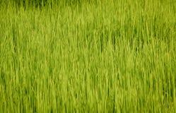 Üppiger grüner Paddy auf dem Reisgebiet Frühling stockfotos