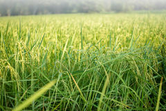 Üppiger grüner Paddy auf dem Reisgebiet Frühling Lizenzfreie Stockfotos