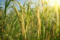 Üppiger grüner Paddy auf dem Reisgebiet Frühling Stockbilder