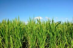 Üppiger grüner Paddy auf dem Reisgebiet Frühling und Autumn Background stockfoto