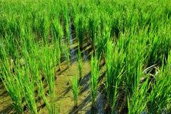 Üppiger grüner Paddy auf dem Reisgebiet Frühling und Autumn Background stockbild