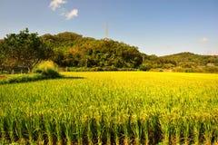 Üppiger grüner Paddy auf dem Reisgebiet Frühling und Autumn Background stockfotografie