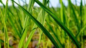 Üppiger grüner Paddy auf dem Reisgebiet Frühling und Sommerhintergrund Stockbild