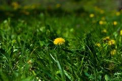 Üppiger grüner Rasen mit Löwenzahn Stockfoto
