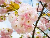 Üppiger rosa Blütenstand von Kirschblüte-Baum gegen einen blauen Himmel r r lizenzfreies stockfoto