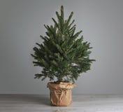 Üppiger Weihnachtsbaum auf grauem Hintergrund Stockfotografie