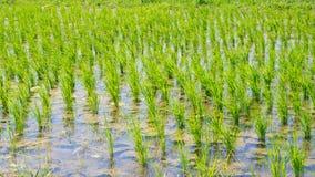 Üppiges Grün überschwemmte Reisfeld Lizenzfreies Stockfoto