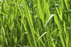 Üppiges grünes Gras als Hintergrund Stockfotografie