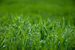 Üppiges grünes Gras mit Tropfen Stockfotos