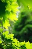 Üppiges grünes Laub des Ahornholzes Stockfotos