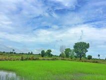 Üppiges grünes Reisfeld mit einem blauen Himmel Stockfotografie