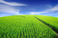 Üppiges grünes Reisfeld und blauer Himmel Stockfotografie