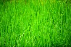 Üppiges Gras lizenzfreie stockbilder