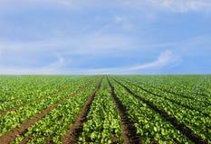 Üppiges landwirtschaftliches Feld des Kopfsalates Lizenzfreie Stockbilder