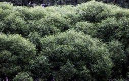 üppiges Laub der Bäume stockbild
