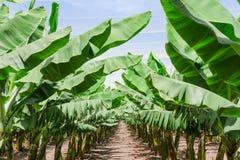 Üppiges leafage von BananenPalmen in der Obstgartenplantage Lizenzfreie Stockfotos