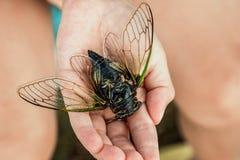 Ćma cykada na ręce dziewczyna Japońska cykada Na palmie kłama wielkiej cykady Zakończenie fotografia stock