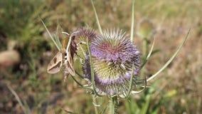 Ćma ekstrahujący nektar od osetu zdjęcie wideo