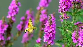Ćma je nektar purpurowi kwiaty dalej komarnica - - Sochi obrazy stock