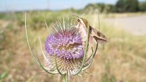 Ćma latanie i ekstrahujący nektar od osetu zbiory