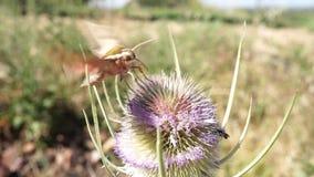 Ćma latanie i ekstrahujący nektar od osetu przy końcówką ono lata daleko od zdjęcie wideo