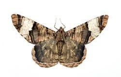 Ćma, motyl przy nocą, ćma w Thailand Zdjęcia Stock