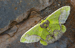 Ćma, motyl przy nocą, ćma w Thailand Fotografia Stock