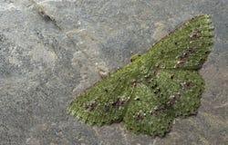 Ćma, motyl przy nocą, ćma w Thailand Obrazy Stock