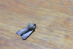 Ćma na drewnianym stole Ćma zawierają grupy insekty odnosić sie motyle Obrazy Stock