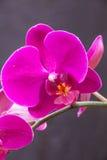 Ćma orchidea (Phalaenopsis) Zdjęcie Royalty Free