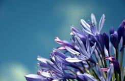 Ćwiartka leluja Nil, także nazwany Afrykanin lelui Błękitny kwiat Fotografia Stock