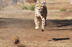 Ćwiczyć geparda: gonić nęcenie, całkowicie powietrznego Obraz Stock