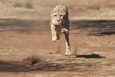 Ćwiczyć geparda: gonić nęcenie, prawie tam! obrazy royalty free